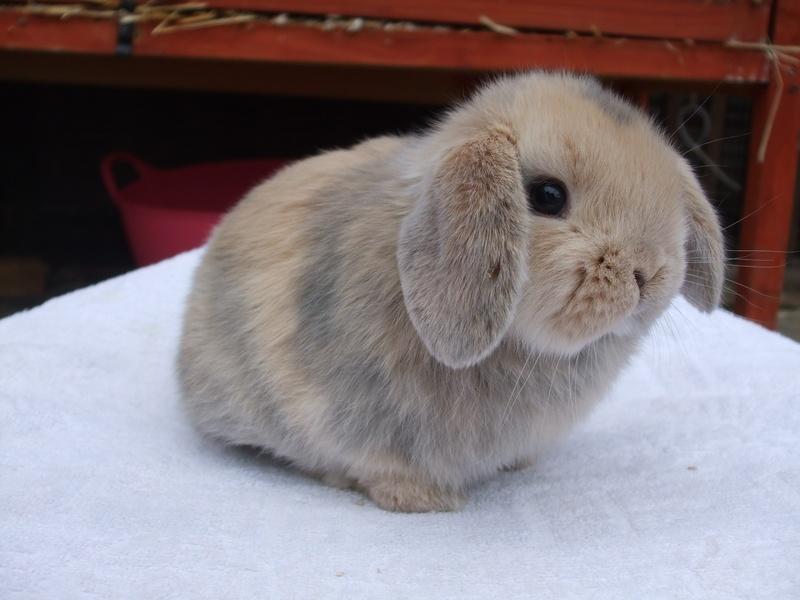 teddy bear   watershipdowns mini lop ear rabbits